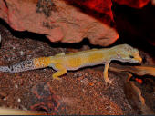 Eublepharis macularius Super Hypo Carrot Tail Baldy